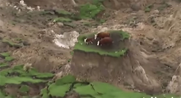 cows-stranded-on-island-created-by-powerful-new-zealand-earthquake