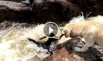 Amazing dog saves another dog from rushing rapids