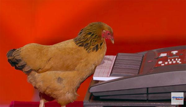 Piano Playing Chicken Jokgu is back on America's Got Talent 2017 Judge Cuts