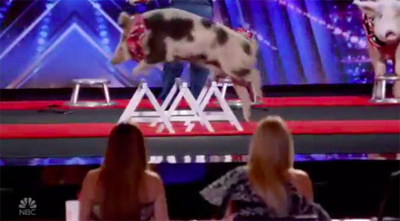 "Pigs and Hogs ""Pork Chop Revue"" America's Got Talent 2020 AGT Audition Performance Video"