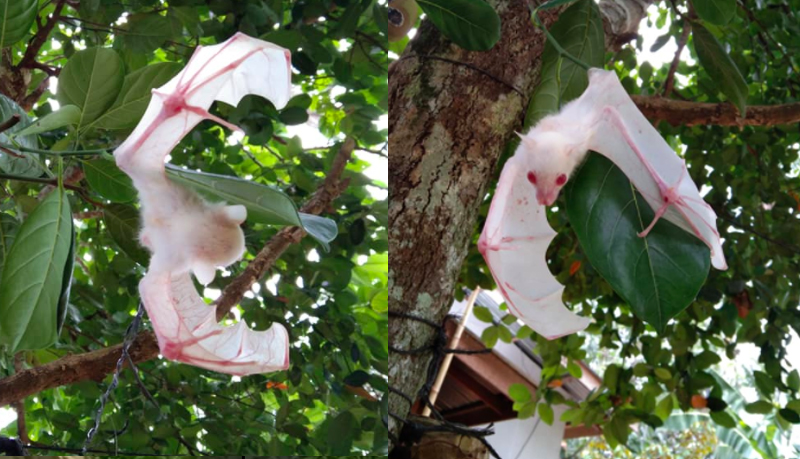 VIRAL: Rare White Bat Spotted in Davao Del Norte, Philippines